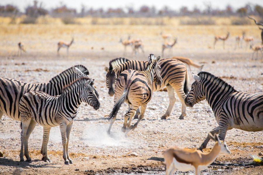 Zèbre Namibie parc Etosha